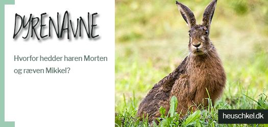 Dyrenavne: Hvorfor hedder haren Morten og ræven Mikkel?