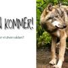 Hvorfor frygter vi ulven sådan?