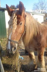 Emilie. Den eneste og sande Heuschkel-hest.